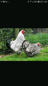 Looking for silver laced Wyandotte