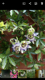 Passiflora plants-climber and hardy