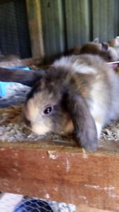 Harliquin Bunny
