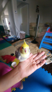 Birds parrot pet rabbit sitter from home $10/day. avaiable 24/7