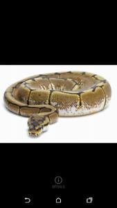 Python royal spider 60$ ou echange