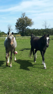 Project Pony Geldings For Sale