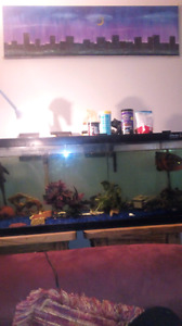 75 gal fish tank with Oscar and two plecos