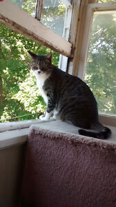 Missing Sweet Cat Kitchener / Waterloo Kitchener Area image 1