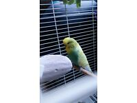 Budgie with a cage