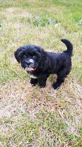 Female shih tzu x poodle puppy in need of new home!