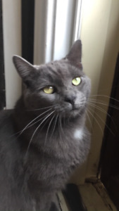 Cuddles - Lost Male Cat - Grey Shorthair