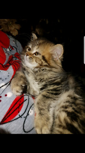Persian and Tabby mix kittens