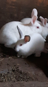 5 little white rabbits