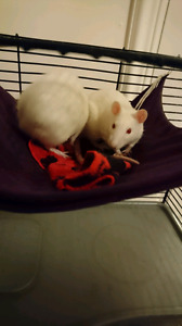 Free female rats (pets) 5 months old