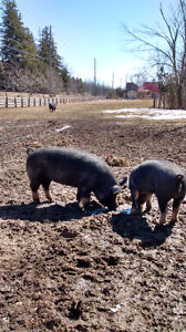 Berkshire weaners, young sows and boars for sale