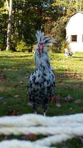 3 Houdon roosters brothers to good home