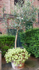 23 year old Olive tree with ceramic pot