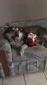 Paws for Love dog rescue has a 5 year old husky X male