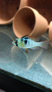 Poissons ramirezi German Blue