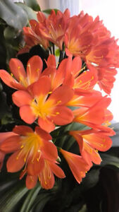Beautiful fire red flower 1 year rooted clivia plants in pot 君子兰