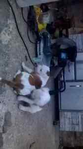 America x alapha bulldogs two males left.