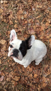 1 year old male French Bulldog for sale!