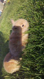 Pure bred holland lop bunnies