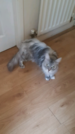Maine coon in West Yorkshire | Cats & Kittens for Sale - Gumtree