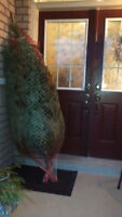 Christmas tree pickup and delivery up to 9' feet $30.00