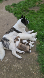 American chunki fluffy Akita puppies