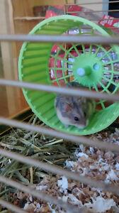 Hamster nain Campbell