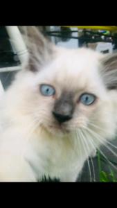 Ragdoll kitten 10 week old