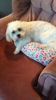 BEST CHRISTMAS GIFT-Loving bichon mix needs a new home ASAP :)