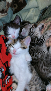 THREE KITTENS Free to a good home!