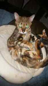 Marbled Gold Bengal X  Tabby kittens 1Left. NEED HOME URGENTLY