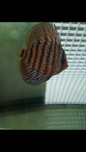 6 red tiger discus group