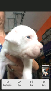 Pure breed argentino dogos ukc registarded ready go in 2 weeks