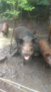 Wild boar cross sow for sale