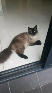 Ragdoll cat *desexed* male