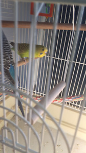 lime green budgie with big cage make me a reasonable offer