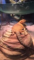 Bearded dragon + tank