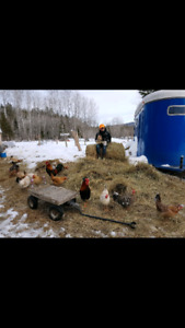 ICELANDIC CHICKEN HATCHING EGGS - $40/dozen