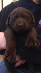 Chocolate & Black Lab Puppies ONLY 3 LEFT-Christmas Puppies:)