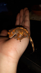 Harlequin crested gecko with tank