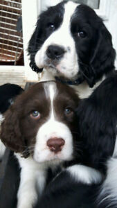 Puppies For Sale:Purebred English Springer Spaniel.Ready to go!