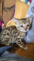 Bengal Kittens Pure Breed