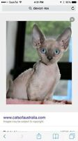 looking for someone with a Devon Rex