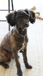 Male Miniature Poodle Puppy for Sale - video