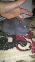 1 very gentle Male Lionhead left/Doublemane/ready to go mid Oct.
