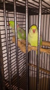 Alexandrine breeding pair