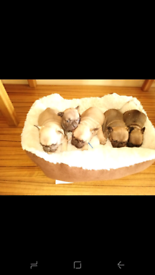 French bull dog Puppies .