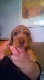 Four gorgeous standard/miniature dachshunds for sale