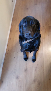 1 and a half year old  Black lab/ retriever