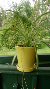 Spider plant in yellow pot